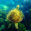 Which sea turtles are the deepest divers?