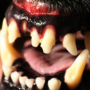 How many sets of teeth do dogs get?