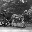 Who was driving the famed zebra carriage in London?