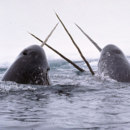 What is narwhal 'horn' really made of?
