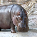 "What does the word ""hippopotamus"" literally mean?"