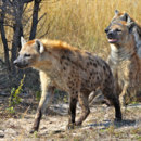 What is the main feeding behaviour of hyenas?