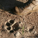 Which animal left this footprint in Africa?