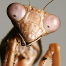What color is praying mantis male?