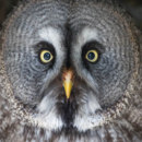 What is the color of eyes of owls that hunt at night?