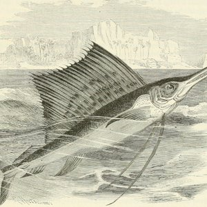 What is the top speed of the sailfish, considered to be the fastest fish in the world?