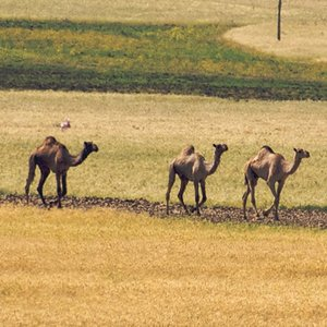 On which continent you may find dromedary camels in the wild?