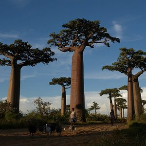 This photo was taken in Madagascar. What are these grand trees?