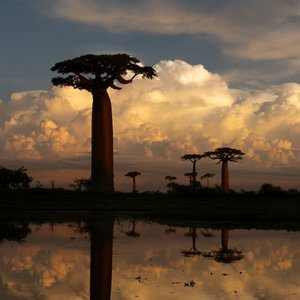What is the main purpose for baobab to have such thick trunk?
