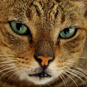 Why do cats have vertical pupils?