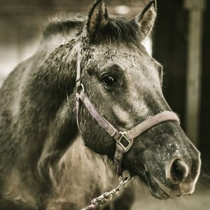 What unit is used to measure horses?