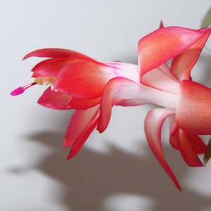 This is Schlumbergera, commonly called Christmas Cactus, because it flowers in winter. How is it called in southeast Brazil, where it occurs in the wild?