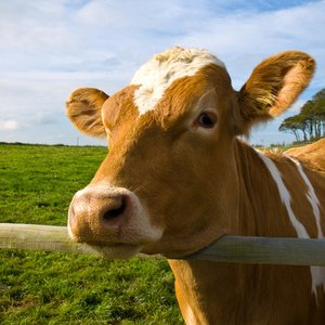 What is the typical weight of a cow?