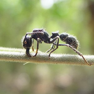 Why is a bullet ant called a 'bullet'?