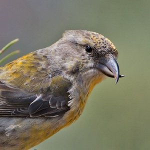 What kind of feeding is crossbill's beak adapted to?
