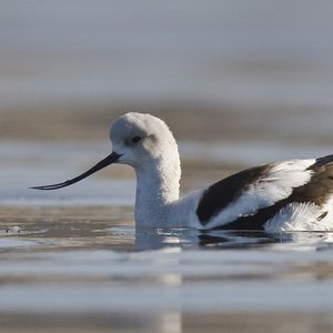What kind of feeding is avocet's beak adapted to?