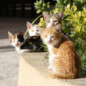 How many species of the cat family hunt in groups?