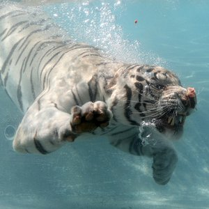 Which cats enojoy swimming?