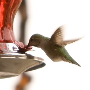 Where can you spot this species of hummingbirds?