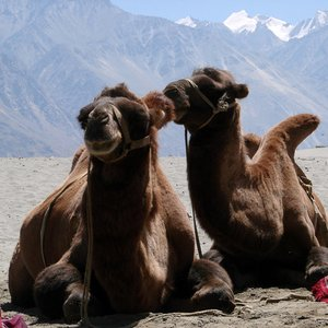 Where could you expect to find a wild Bactrian Camel?