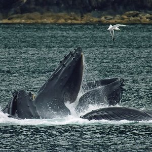 What is the inventive hunting technique of humpback whales?