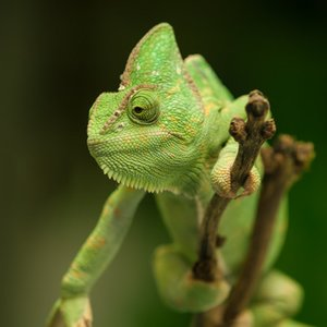 For what main reason do chameleons change color?