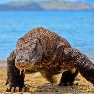 Komodo dragon (varanus komodoensis) is the largest living species of lizard. Where is its natural habitat?