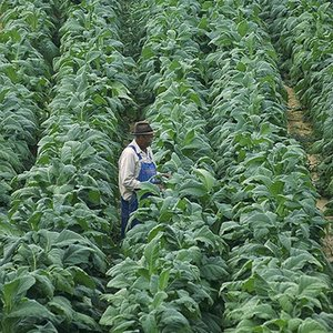 Which country is the leading producer of tobacco?