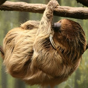 What do sloths mainly eat?