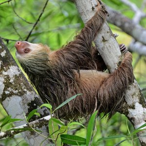 Which trait of this sloth gave name to its taxonomic family?