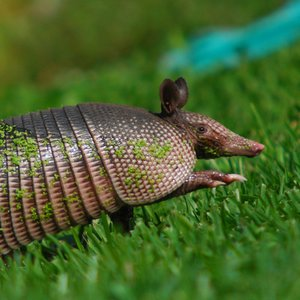 Which human disease are armadillos a reservoir for?