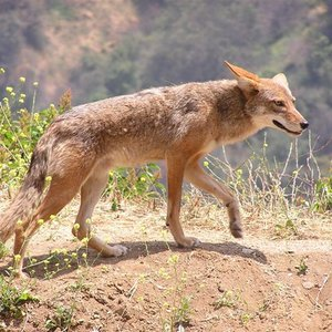 When were coyotes introduced to North America?