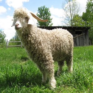 Which animal's hair is a source of mohair?
