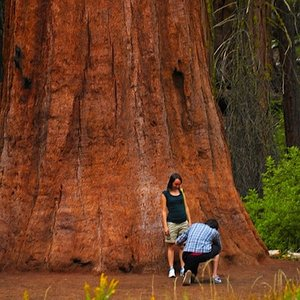 Where do coast redwoods grow?