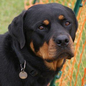 Where does the name of Rottweiler breed come from?