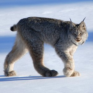 What lynx species is that?