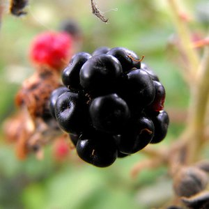 How many types of   blackberries are growing in Poland?