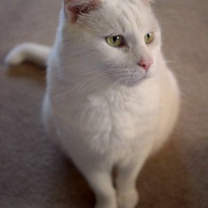 What is the breed of cats with extremely short paws?