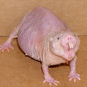 Which trait makes naked mole rat a subject of intensive scientific studies?