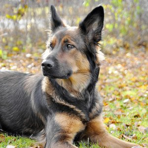 What was the name of Hitler's German Shepherd?