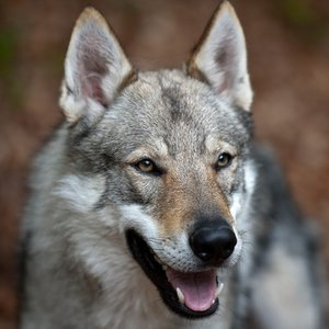 What dog breed was created by cross-breeding German Shepherd with wolf?