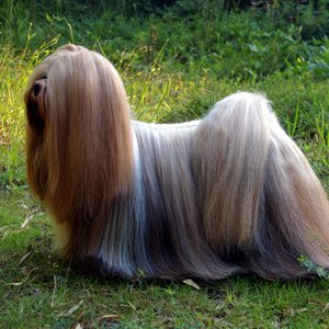This breed of dog is associated with ...