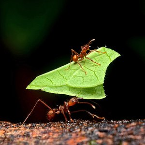 These ants bite off and collect leaf pieces. What for?