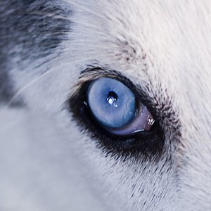 Which dogs have blue eyes?