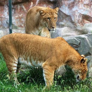 A liger is a hybrid cross between a male lion and a tigres. What are ligers best known for?
