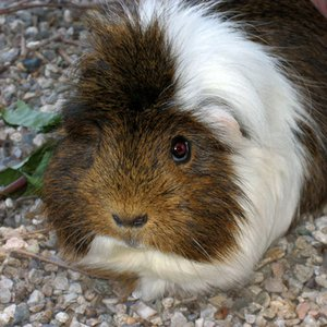In South America, what is the typical reason for breeding guinea pigs?