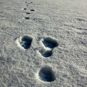 Which animal left these tracks?