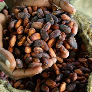 Where do the wild cocoa forests grow?