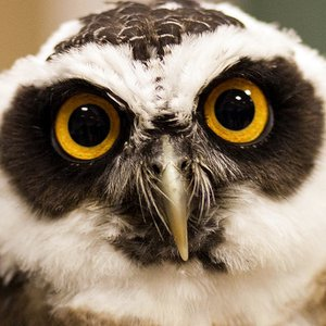 Which owl species builds nests?